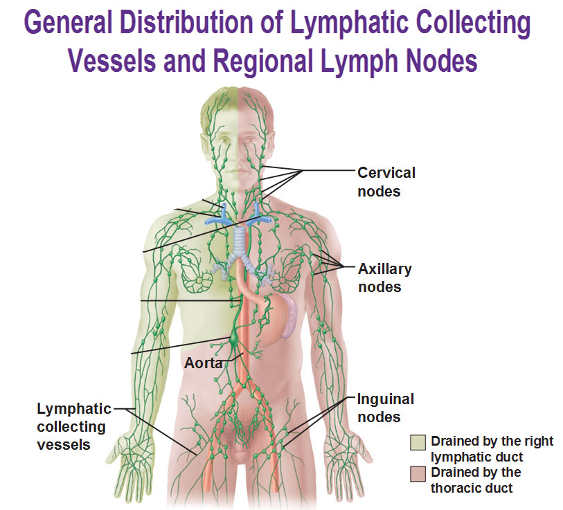 lymph nodes Occipital lymph nodes swelling usually happens when an infection develops lymph nodes produce lymphocytes to kill bacteria and other foreign substances.