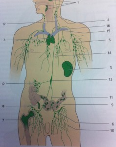 The Deep Lymphatic System